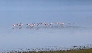 flamingo polifito1